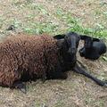 2008 05 14 Une brebis avec son agneau