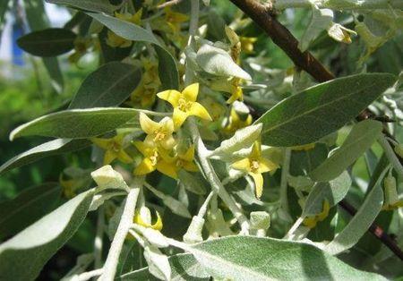 ELAEAGNUS_angustifolia2