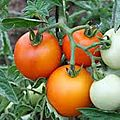 2- tomate auriga www.passionpotager.canalblog.com