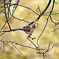 Pinson du Nord femelle - Fringilla montifringilla