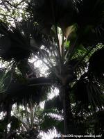 54_Palmier racines