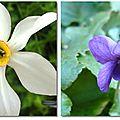 Narcisse ou violette