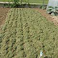 23 avril - les rangs d'oignons ne demandent qu'à pousser....