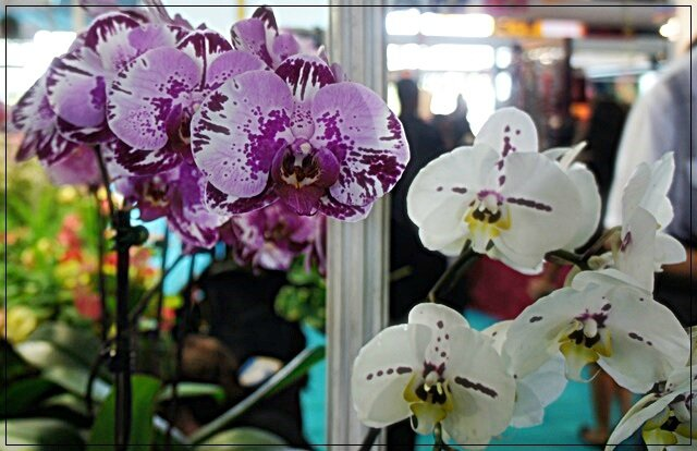 ORCHIDEES ROSES ET BLANCHES MOUCHETEES