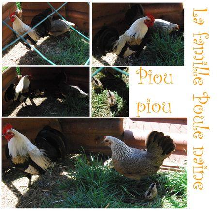 poule_poussin_coq