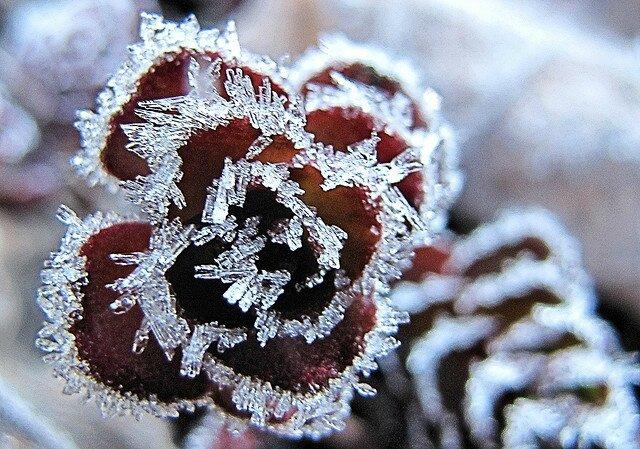 4172231964_a8304f9da8_z[1] Frost on sedum