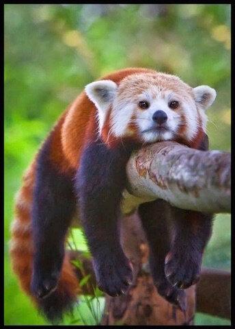 panda roux epuise