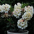 Mon rhododendron!