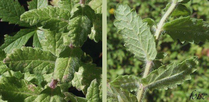 feuilles opposées sessiles pubescentes dentées