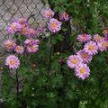 2009 09 12 Chrysanthème d'automne en fleurs