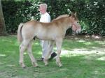 Helios d'Avesnes (Boulonnais) par Charly du Manoir et Dalya du Frutil - 4 Juin 2017 - Concours d'élevage local - Rue (80)