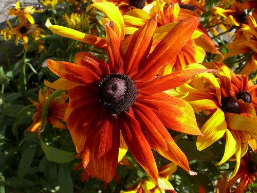 2008 10 03 Une fleur de rudbeckia