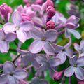 Feuille de lilas