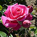 roses rose vieux bourg-2