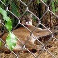 Le Puma de Floride