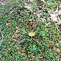 Deux cèpes d'étés adultes en contrebas d'un chemin.