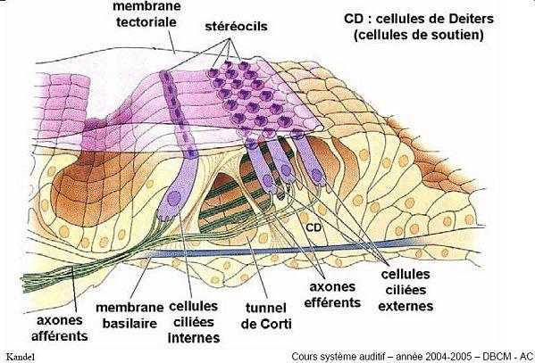 La perception humaine du son la perception des ultrasons for Fenetre ovale oreille