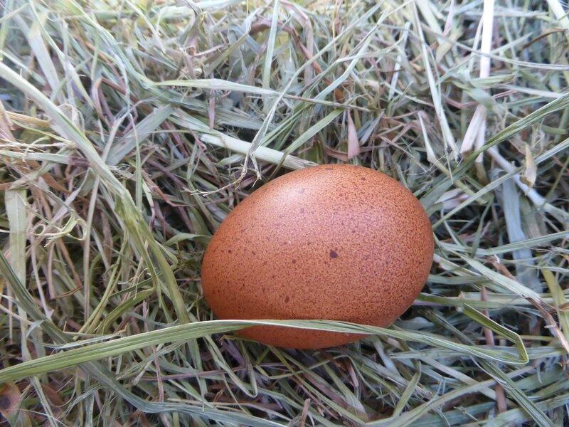 2-poules marans (21)