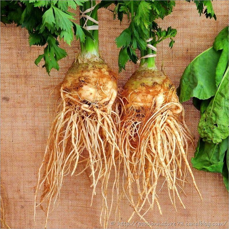 Les légumes d'autrefois (17)