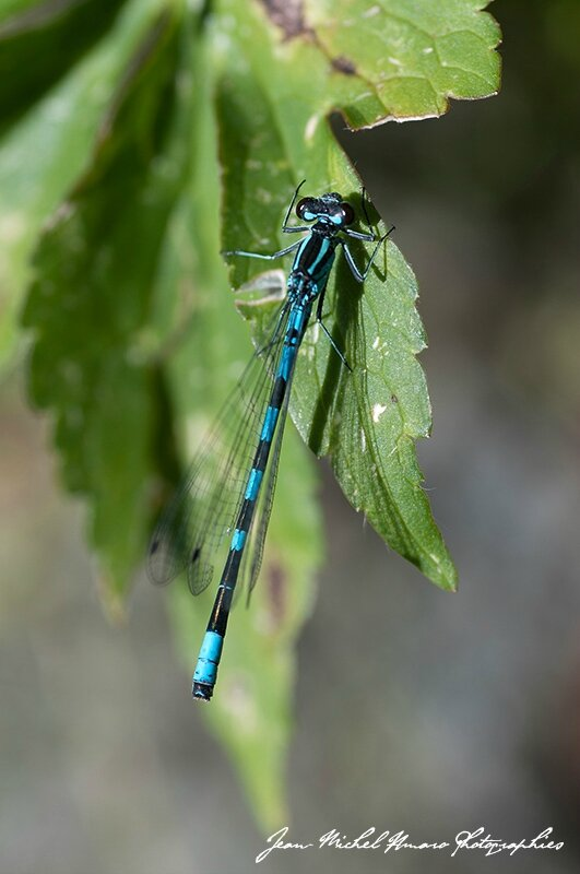 2014_07_Coenagrion hastulatum_01