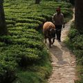 Balade dans les Théiers - Happy Valley - Darjeeling