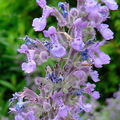 nepeta mussini