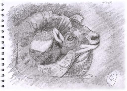 Mouflon2_blog