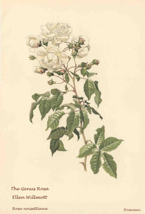 The Genus Rosa (Ellen Willmott)