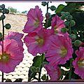 Roses trémières 2506152