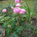 Le rosier 'Comte de Chambord'