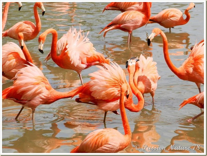 Les flamants roses (4)