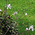 Magnolia étoilé 050316