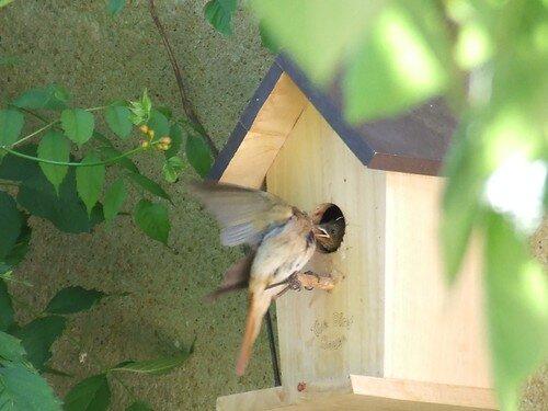 rouge-queue à front blanc volant