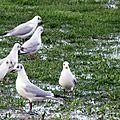 Oiseaux ile de re foto Mo2 (64)-h1500