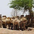 Parc à dromadaires ; Oued Ambouli 3
