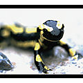 Salamandre tachetée - cambon et salvergues (hérault 34)