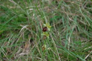 Ophrys_Araneola_4