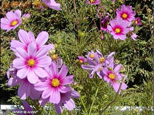Cosmos_roses