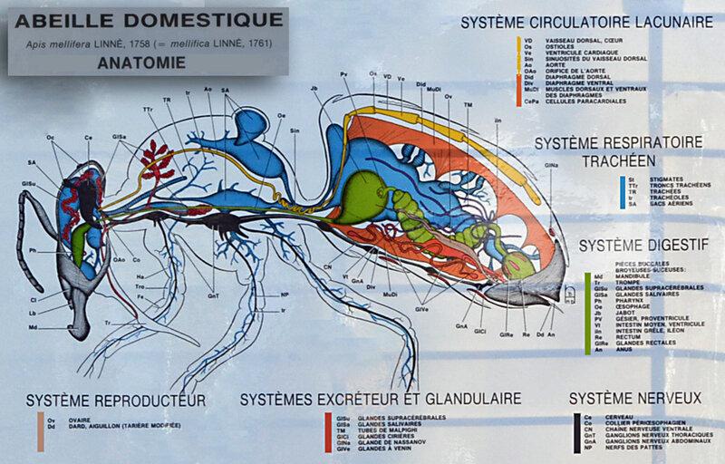Morphologie et anatomie de l'abeille domestique