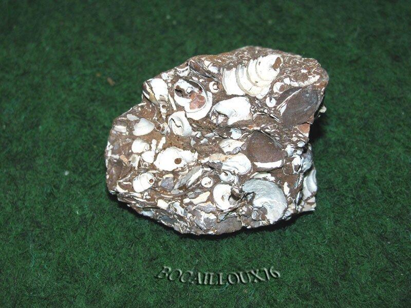 POTAMIDES Lamarcki F56 - 76 Varengeville (5)