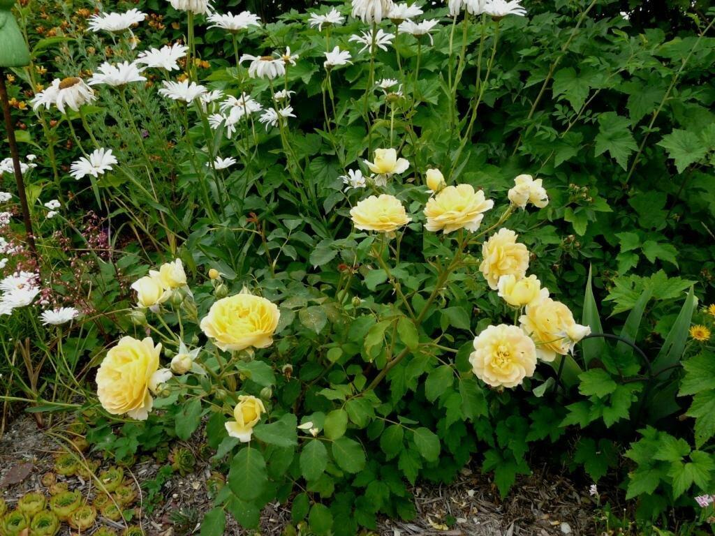 Mi juillet 3 3 le jardin de marguerite rose for Rosier grimpant pour mi ombre