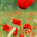 Bl et Coquelicot
