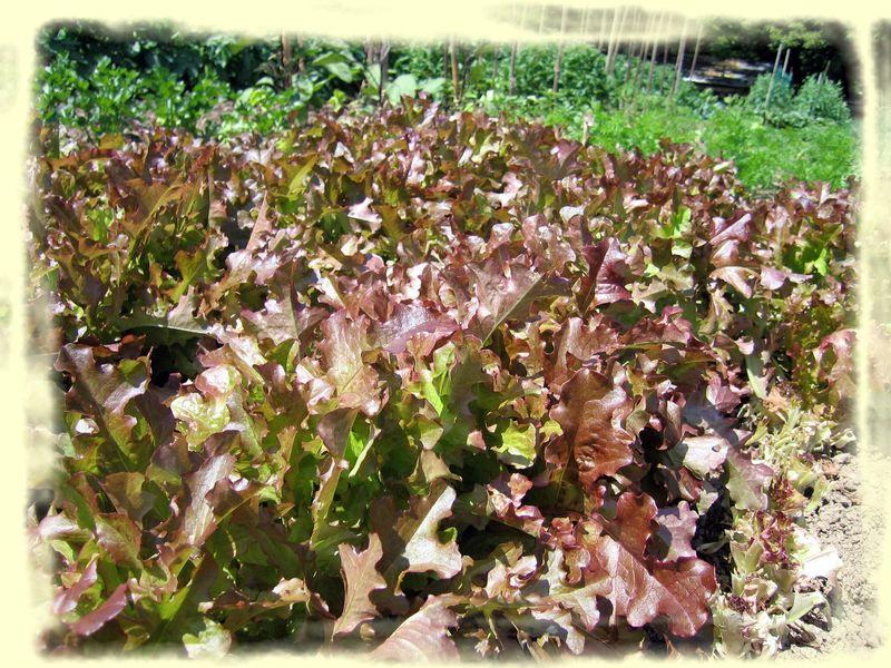 Feuilles de ch ne aux oeufs poch s ma nature 2 - Salade a couper qui repousse ...