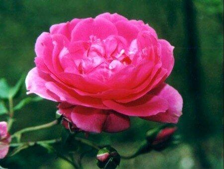 rose__rose_vif