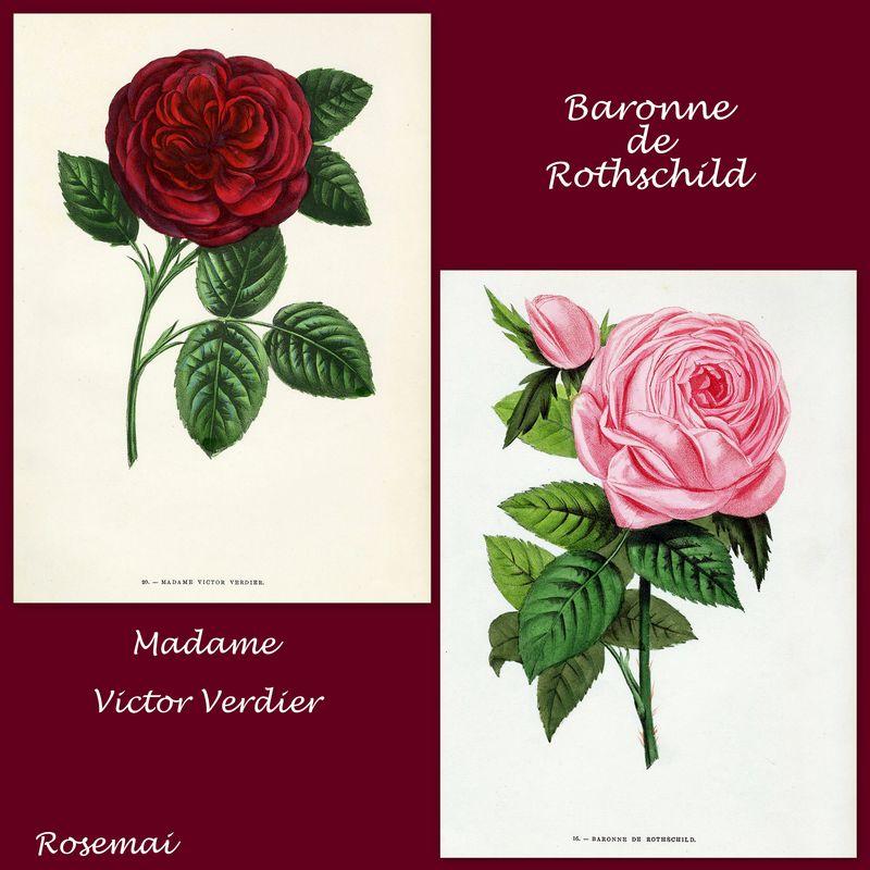 'Madame Victor Verdier' et 'Baronne de Rothschild'