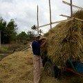 Recolte de la paille de riz pour nourrir les animaux
