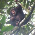 Bébé chiampanzé dans la forêt de Bossou