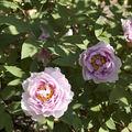 Des fleurs de pivoine!