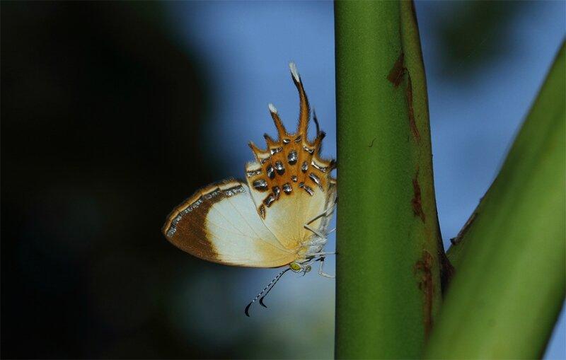 Helicopis cupido