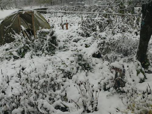 2008 10 29 Mon jardin complétement couché par le poid de la neige